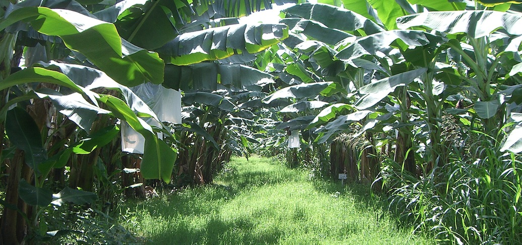 Organics Unlimited Increases Organic Banana Plantings in Mexico