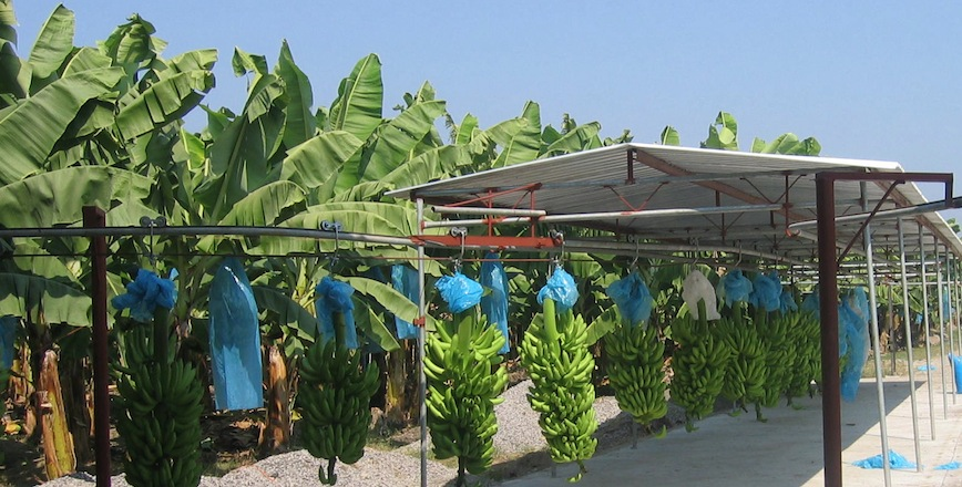Why Banana Availability Can Vary So Much